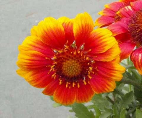 ガイラルディア花
